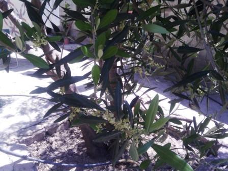 Au plus près de l'olivier