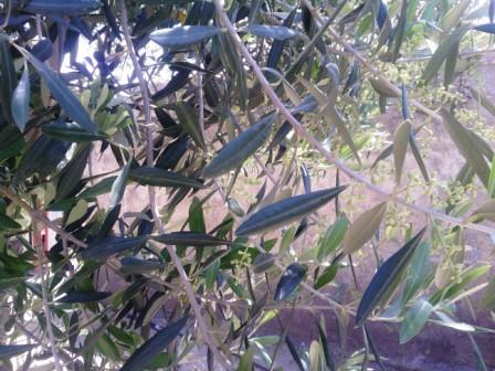 Dans les feuillages de l'olivier en fleurs...