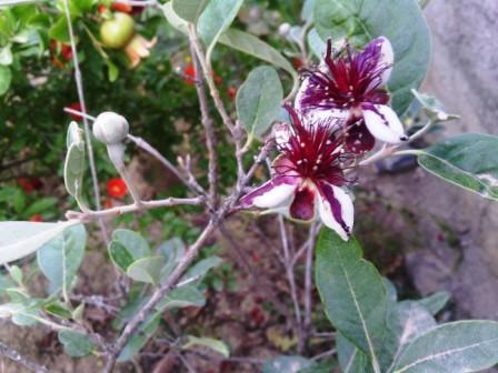 Poirier japonais en fleurs, dixit le pépiniériste...