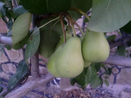 Petites poires en cours de mûrissement