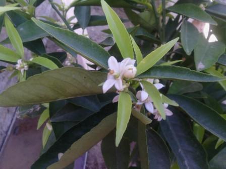 Mandarinier en fleurs